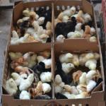 Perawatan Ayam Kampung Super (Joper) Sejak Umur 21 Hari- Dewasa