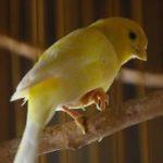 Mencegah dan Mengobati Burung Kenari yang Sakit
