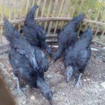 Pengiriman Ayam Pesanan Pak Rohendi di Bandung