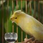 Mengenal Burung Kenari Lancashire yang Bertubuh Besar