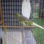 Bagaimana Cara Membedakan Burung Kenari Lokal, Kenari Lokal Super (Loper) dan Kenari Impor?