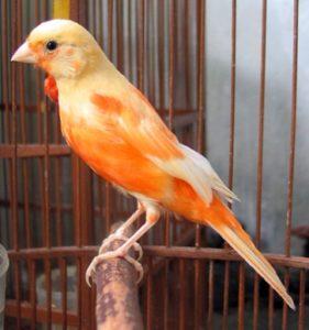 Burung Kenari Loper