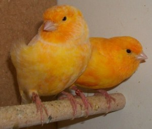 Burung Kenari Norwich