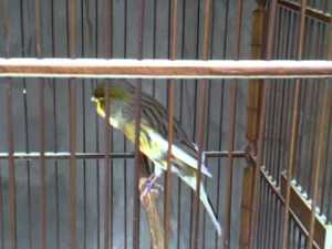 Burung Kenari Blackthroat