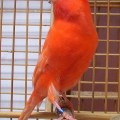 Burung Kenari Merah