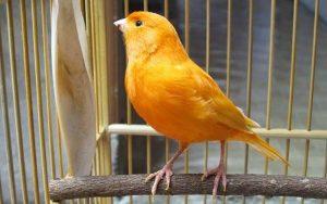 Burung kenari, cara mengatasi kenari giras, cara menjinakkan kenari anakan, kenari jinak gacor, kenari galak, ternak kenari, suara kenari, kicau kenari, jual burung kenari, harga burung kenari