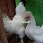 Galeri Foto Ayam Kapas Terbaru