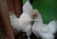 Ayam Kapas Usia 5 Bulan