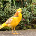 Galeri Foto Yellow Pheasant Terbaru