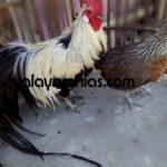 Galeri Foto Ayam Phoenix Terbaru