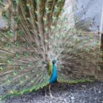Galeri Foto Burung Merak Biru