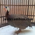 Ayam Mutiara Dewasa