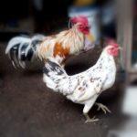 Mengenal Sejarah Ayam Ketawa