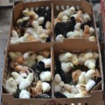 Mengenal Asal- Usul Ayam Kampung Super