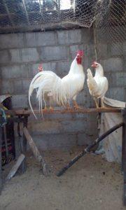 Ayam Onagadori Dewasa