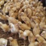2 Metode Pemilihan Bibit Bebek yang Baik Untuk Dijadikan Bibit yang Unggul