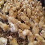 3 Hal yang Perlu di Pertimbangkan Dalam Membuat Pakan Bebek