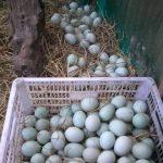 Cara Mudah Ternak Bebek PetelurModern untuk Pemula
