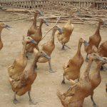 Kenapa Memilih Bebek Lokal untuk Ternak Bebek Pedaging?