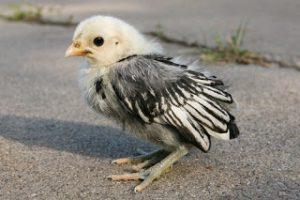 Dua Jenis Ayam Hias Pesanan Bapak Denni di Nganjuk