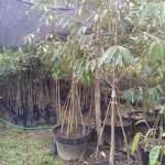 Cara Budidaya Bibit Tanaman Buah Durian MusangKing