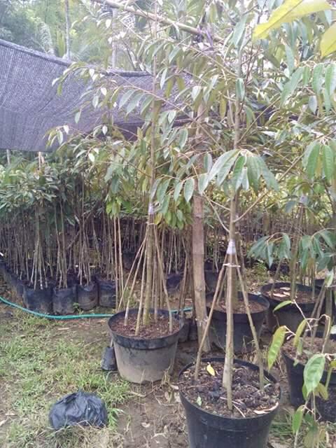 Durian Musangking Kaki Tiga