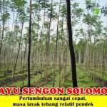 Bibit Sengon Solomon 70 cm