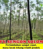 Kayu Sengon Solomon