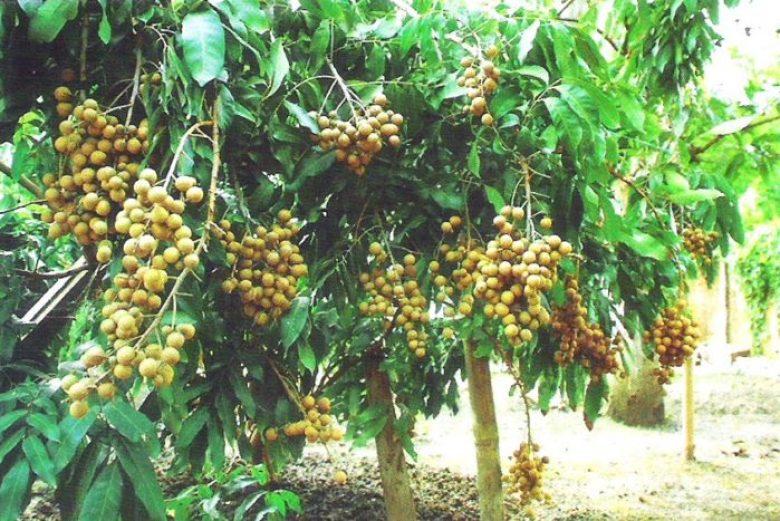 Pohon Kelengkeng