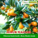 Buah Jeruk Nagami