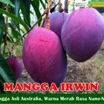 Bibit Mangga Irwin 70 cm