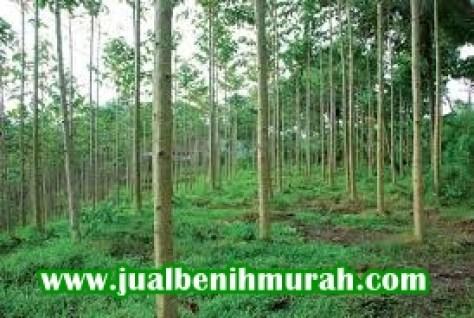 Budidaya Pohon Sengon