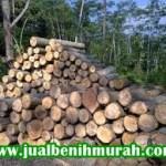 Mengenal Lebih Dalam Pohon Kayu Sengon/Albasia