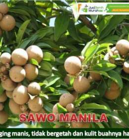 Buah Sawo Manila