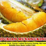 Bibit Durian Musangking 3 Kaki 150cm