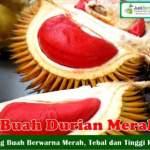 Bibit Durian Merah 70cm