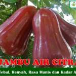 Bibit Jambu Air Citra 70 cm