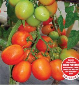 Tomat Marta 9 F1