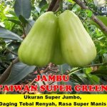 Bibit Jambu Air Taiwan Super Green 70 cm