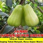 Bibit Jambu Air Taiwan Super Green 70 cm