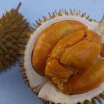 Bibit Durian Duri Hitam 3 kaki 150cm