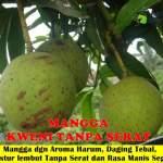 Bibit Mangga Kweni Tanpa Serat 70cm