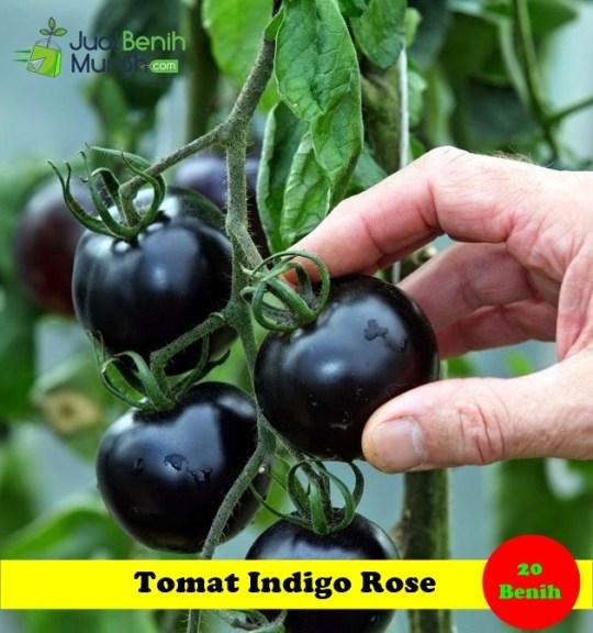 Benih Tomat indigo Rose Maica Leaf
