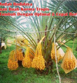 Budidaya Tanaman Buah Kurma Tropis