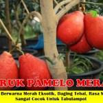 Bibit Jeruk Pamelo Merah 50cm
