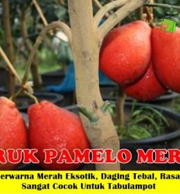 Jeruk Pamelo Merah