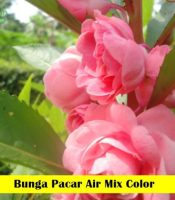bunga Pacar Air Maica Leaf