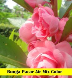 bunga Pacar Air Maica Leaf