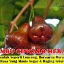 Jambu Cincalo Merah