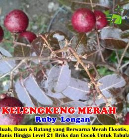 Kelengkeng Merah Ruby Longan